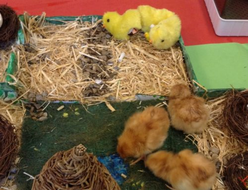 Chicks In Reception